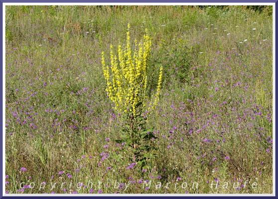 Bevorzugte Nahrungspflanze der Raupen - Mehlige Königskerze (Verbascum lychnitis)