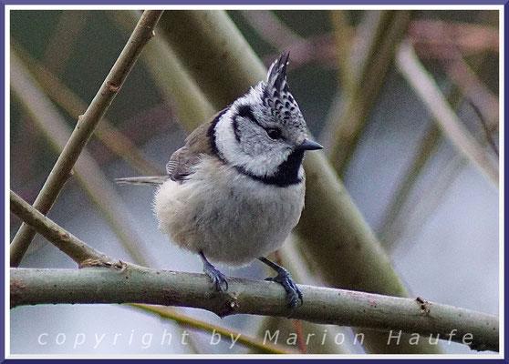 Haubenmeise (Parus cristatus), 26.12.2017, Prerow/Mecklenburg-Vorpommern