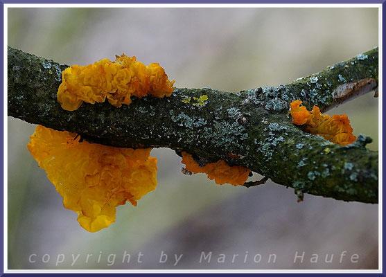 Goldgelbe Zitterlinge (Tremella mesenterica) am Hahneberg - Totholz/Eiche untere Zweige am Baum