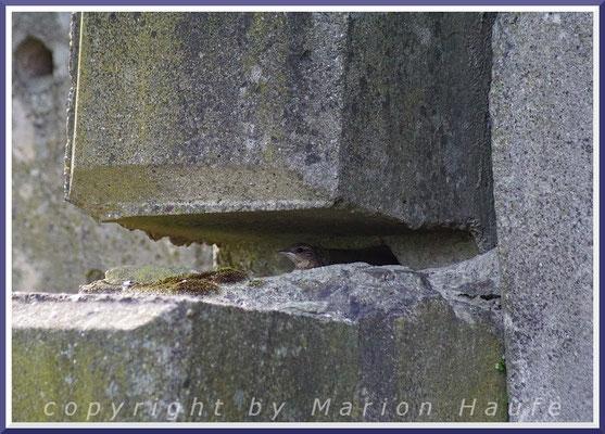 Steinschmätzer-Nest mit Jungvogel in einer Mauer