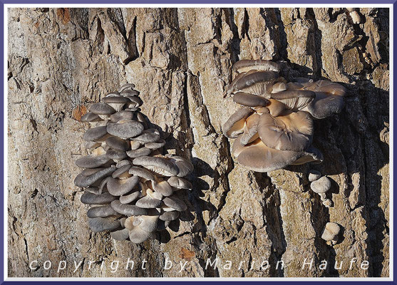 Austernseitlinge (Pleurotus ostreatus) an Pappel, Dezember 2020