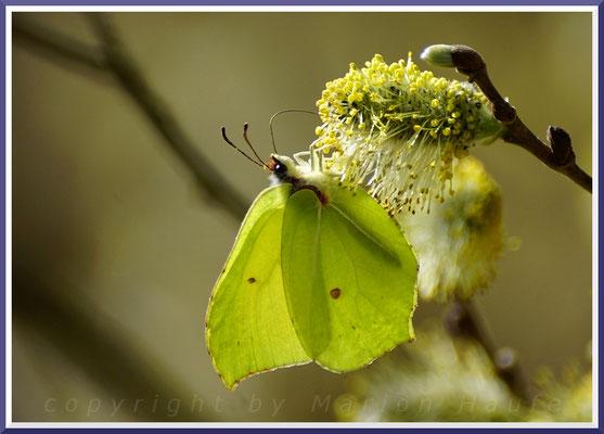 Blätter und Blüten der Saalweide sind eine der wichtigsten Nahrungsquellen unserer heimischen Falter.