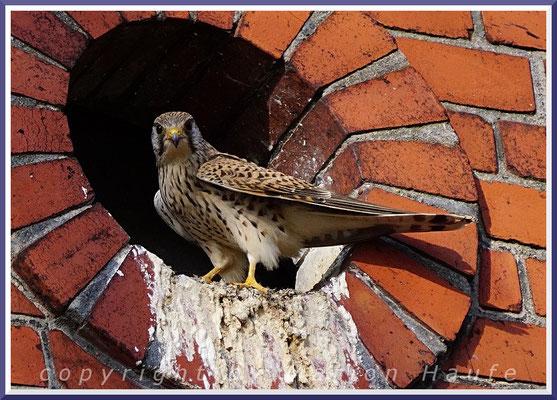 Weiblicher Turmfalke (Falco tinnunculus), 30.03.2018, Berlin.
