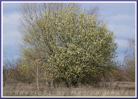 Blühende Salweide (Salix caprea) im Gelände