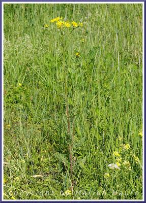 Jacobs-Greiskraut (Senecio jacobaea)