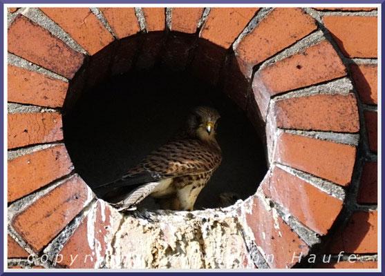 Das Turmfalken-Weibchen fütter die Jungvögel, 08.05.2020, Berlin.
