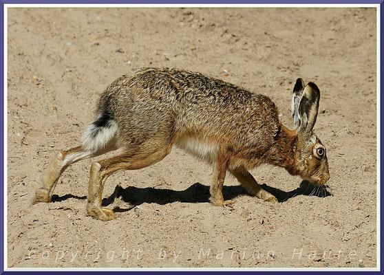 Ein Feldhase (Lepus europaeus) folgt einer Duftspur, Alt-Reddevitz/Mecklenburg-Vorpommern.
