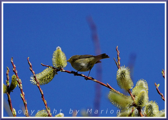 Zilpzalp (Phylloscopus collybita) saugt Nektar in Sal-Weidenblüten (Salix caprea), Ende März.