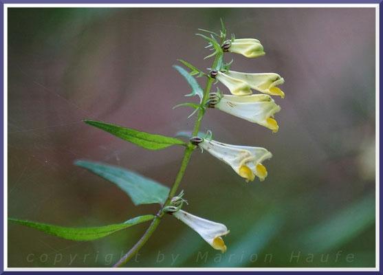 Wiesen-Wachtelweizen  (Melampyrum pratense)