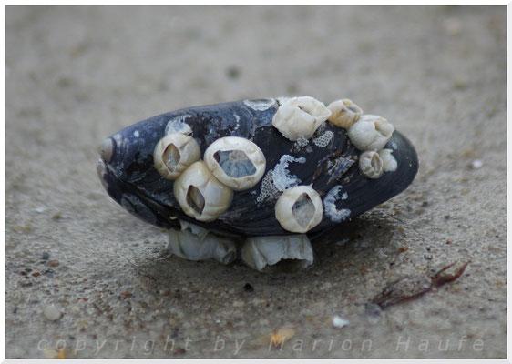 Miesmuschel mit Seepocken und Moostierchen.