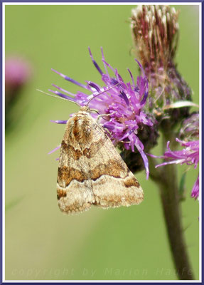 Braune Tageule (Euclidia glyphica), 28.06.2015, Land Brandenburg