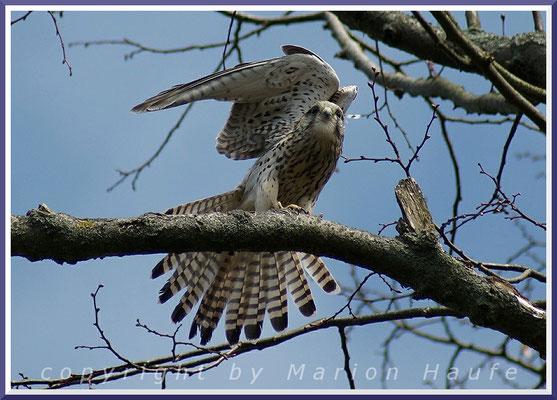 Weiblicher Turmfalke (Falco tinnunculus), 09.04.2015, Berlin