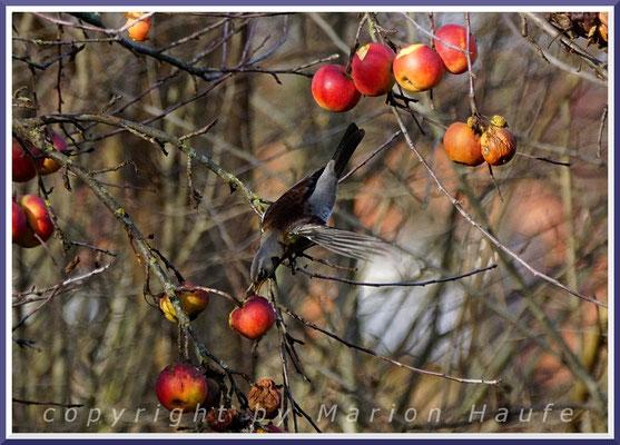 Wacholderdrossel (Turdus pilaris), 29.12.2019, Staaken/Berlin