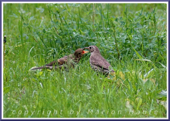 Singdrossel (Turdus philomelos), Alt- und Jungvogel, 15.05.2017, Staaken/Berlin