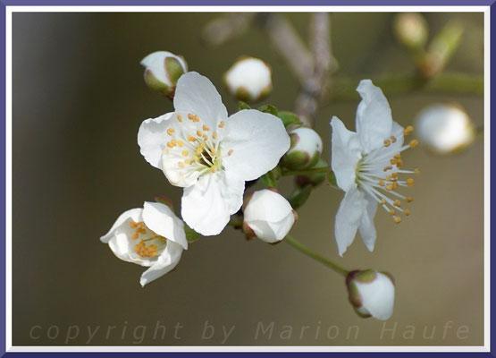 Mirabelle (Prunus domestica subsp. syriaca), März 2019, Staaken/Berlin