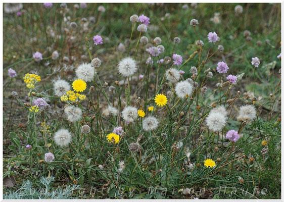 Letzte Blüten auf den Klein-Zickerschen Hügeln.