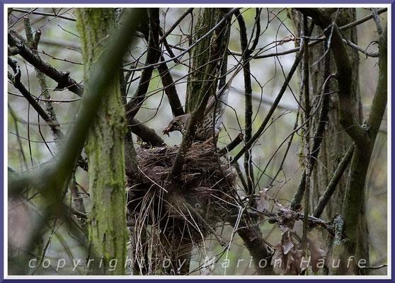 Singdrossel (Turdus philomelos) am Nest, 17.04.2021, Staaken/Berlin