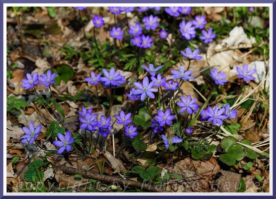 Leberblümchen (Anemone hepatica), April 2019, Land Brandenburg