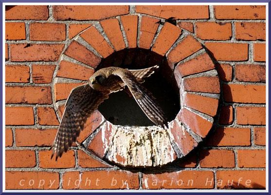 Das Turmfalken-Weibchen verlässt nach der Fütterung der Jungvögel den Horst, 08.05.2020, Berlin.