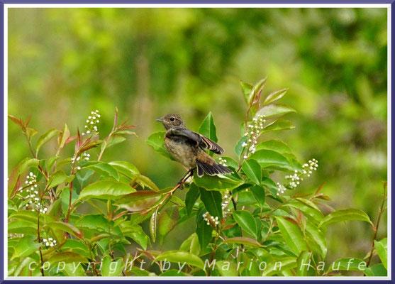 Europäisches Schwarzkehlchen (Saxicola rubicola), Jungvogel, 23.05.2020, Staaken/Berlin