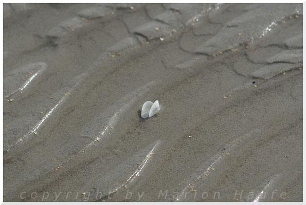 Sandklaffmuschel.