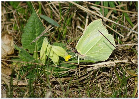 Zitronenfalter (Gonepteryx rhamni), 09.04.2017, Land Brandenburg
