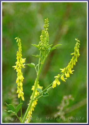 Echter Steinklee (Melilotus officinalis)