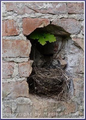 Amselnest in einer Ruine, 25.04.2020, Staaken/Berlin