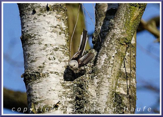 Schwanzmeisen-Paar (Aegithalos caudatus) beim Nestbau in einer Birke, 07.04.2020, Staaken/Berlin