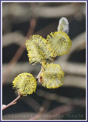 Männliche Blüten der Salweide (Salix caprea)