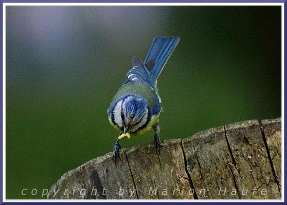 Blaumeise (Parus caeruleus)