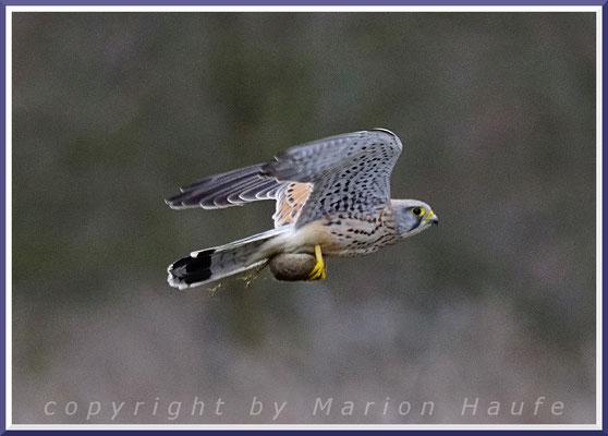 Turmfalken-Männchen (Falco tinnunculus) mit junger Ratte, 14.03.2021, Berlin.
