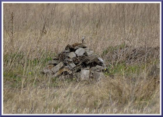 Steinschmätzer-Männchen (Oenanthe oenanthe) an einem Brutplatz in einem Schutthaufen