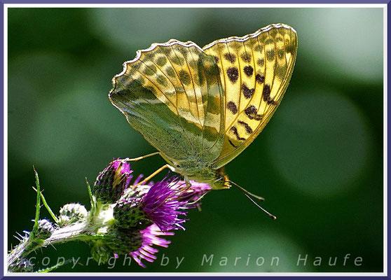 Der Kaisermantel (Argynnis paphia) gehört am Hahneberg zu den Seltenheiten unter den Schmetterlingen, Juli 2021, Hahneberg/Berlin.