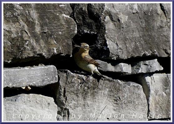 Steinschmätzer-Weibchen (Oenanthe oenanthe) mit Nistmaterial an einem Brutplatz in einer Mauer