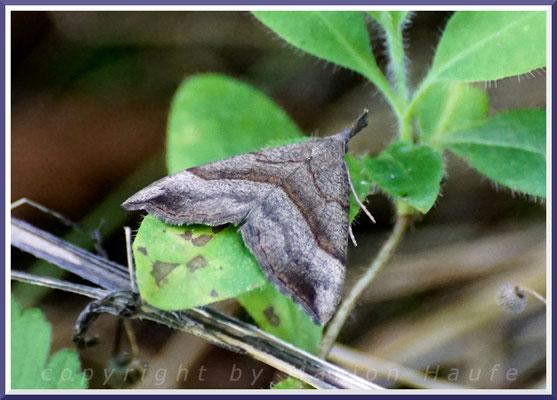 Nessel-Schnabeleule (Hypena proboscidalis), 25.08.2019, Darßwald/Mecklenburg-Vorpommern