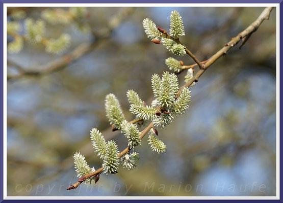 Weibliche Blüten der Salweide (Salix caprea), März 2019, Staaken/Berlin