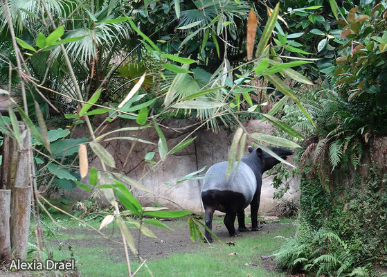 Tapire leben im Gondwanaland.