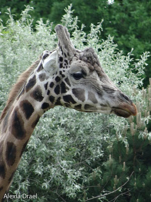 Giraffe Max, der Chef der Truppe