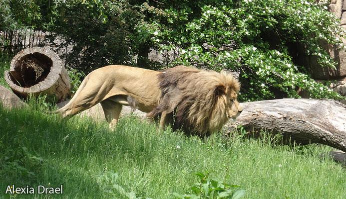 Matadi, der stolze Leipziger Zoo Löwe