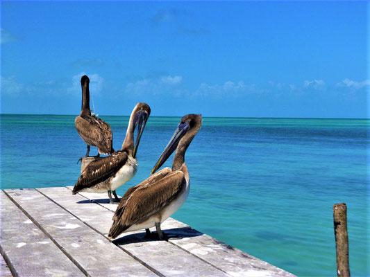 Pelikane auf Caye Caulker, Belize