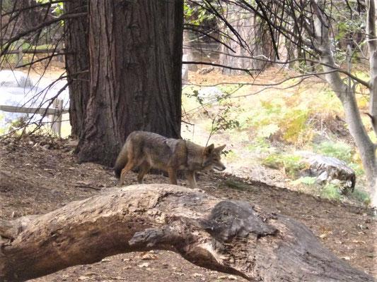 Wölfe im Yosemite Park