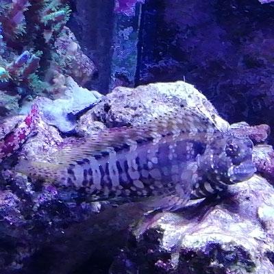 Salaris fasciatus -Schleimfisch (03.08.19)