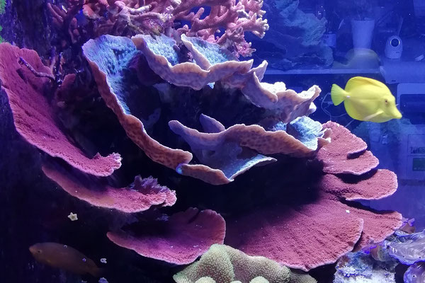 Montipora foliosa rot (19.12.15)