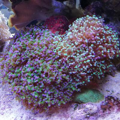 Euphyllia cristata - Grüne Trauben Koralle (09.04.16)