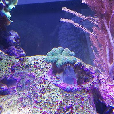 Stylophora pistillata Rainbow - Griffelkoralle oder Milkakoralle (22.06.19)