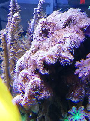 Pavona decussata LPS (27.02.16)