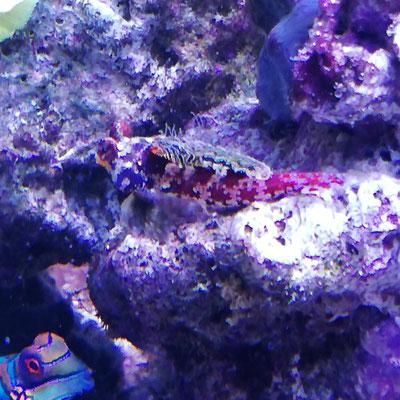 Synchiropus stellatus - Leierfisch Paar - Männchen (08.02.20)