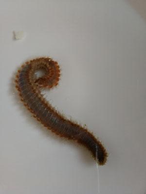 Eurythoe sp 01 - Borstenwurm (07.10.15)