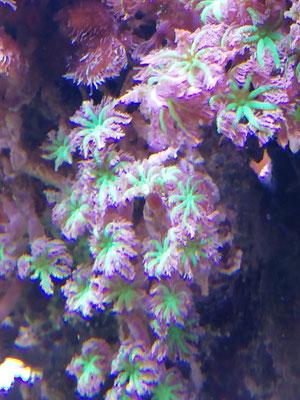 Clavularia tricolor (02.07.16)